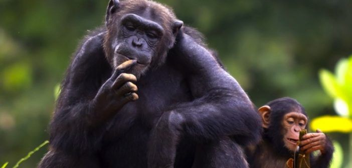 The-cub-of-a-chimpanzee-sitting-and-relax-in-the-nature-via-Shutterstock-800x430