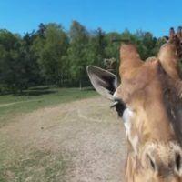 drobne-bebop-giraffa