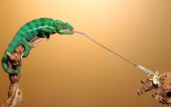 Chameleon-Tongue