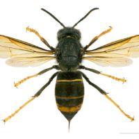 800px-Vespa_velutina_nigrithorax_MHNT_dos