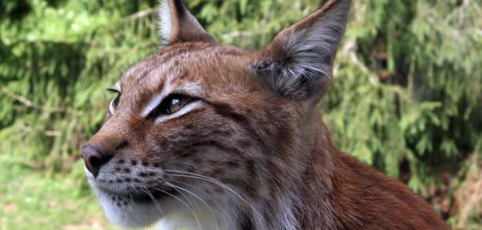 Lynx_lynx-4 2