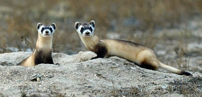 black-footed-ferrets-720x400