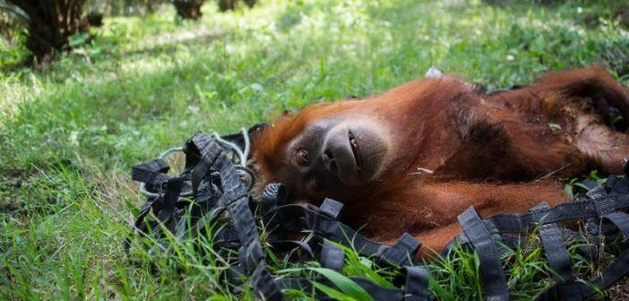 droni per salvare gli orango in estinzione