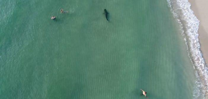 Miami: drone filma squalo tigre vicino ai bagnanti nelle acque di South Beach