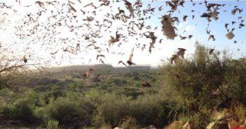chirocottero il drone che studia i pipistrelli
