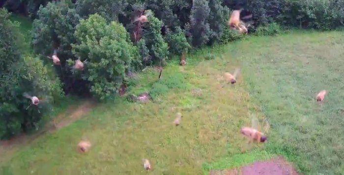 drone attaccato da sciame di api
