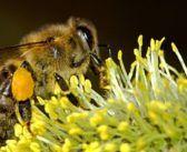 Studio sui droni impollinatori: dal 25 al 60% meglio delle api