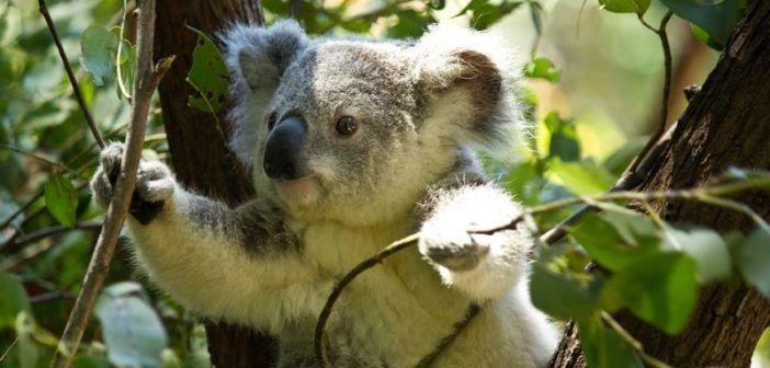 koala su albero