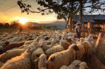 droni pastori greggi e mandrie