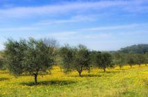 droni per impollinare gli ulivi italia
